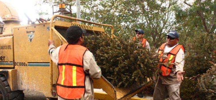 Habilitarán 12 centros de acopio para árboles navideños