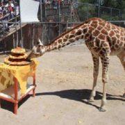 Festejan primer año de la jirafa 'Guga' en Ecatepec