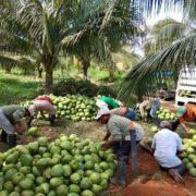 En Yucatán formarán red estatal de productores de cocos