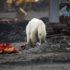 Oso polar demacrado vaga por ciudad en busca de comida