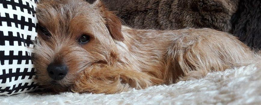 ¿Por qué los perros no pueden comer chocolate?