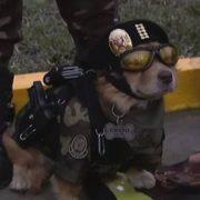 """""""Chato"""", el agente canino que modeló con pistola y esposas en desfile militar de Perú"""