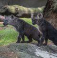 Makena y Omondi, dos cachorros de hiena los nuevos inquilinos en el zoológico de Chapultepec