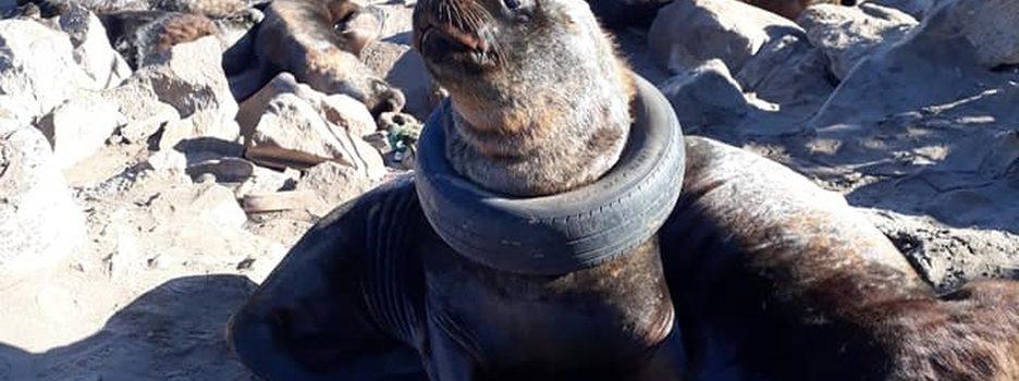 Indigna hallazgo de lobo marino con una llanta atorada en el cuello