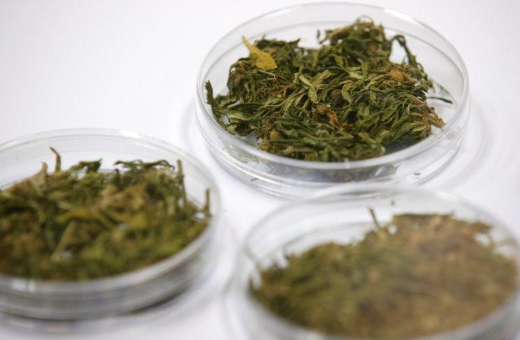 Tailandia inicia el suministro de mariguana medicinal a pacientes con cáncer