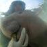 Vaca marina rescatada y que abrazó a veterinario muere a causa del plástico que tenía en su estómago