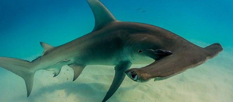 Los superpoderes del tiburón martillo