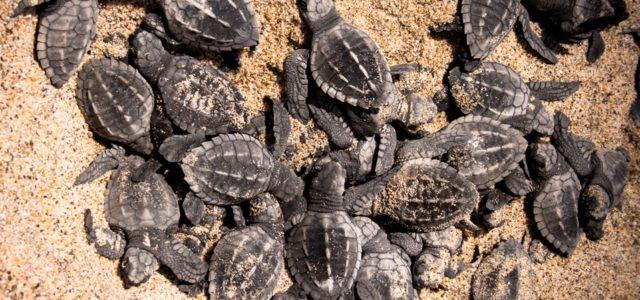 Puerto Vallarta es uno de los estados santuario para las tortugas