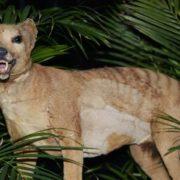 ¿El tigre de Tasmania regresa de la extinción?