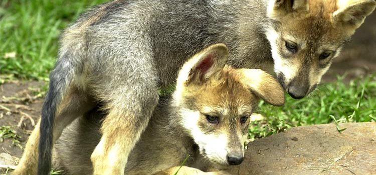Captan nacimiento en Chihuahua de lobo mexicano en vida silvestre
