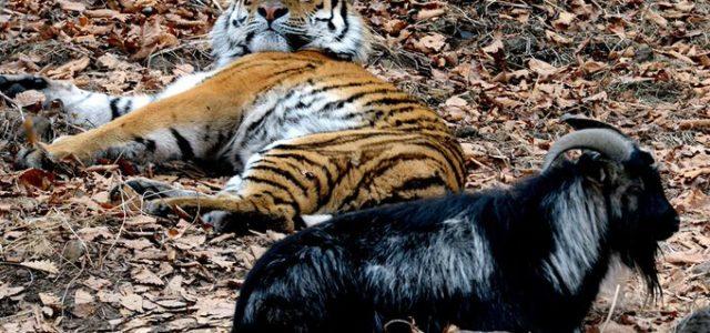 Fin a una curiosa amistad: fallece la cabra Amur, cuyo apego al tigre Timur los hizo famosos en Rusia
