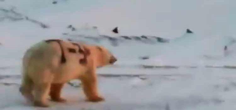 Oso polar pintado con aerosol causa indignación y su vida peligra