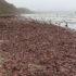 Tormenta causa invasión de «peces pene» en las playas de California