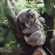 Por incendios en Australia han muerto al menos 2 mil koalas