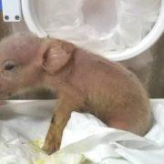 Nacen en China los primeros híbridos de cerdo y mono