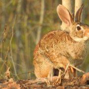 """Catalogan por primera vez """"en peligro"""" al conejo de monte"""