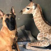 Muere jirafa abandonada por su madre y cuidada por perro en Sudáfrica