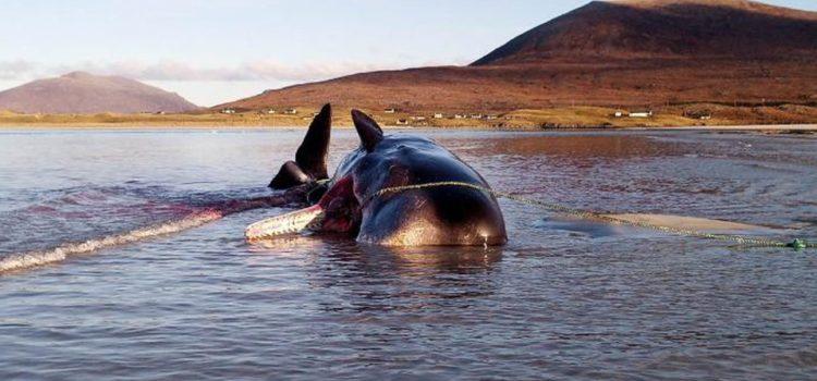 Con 100 kilos de basura en su estómago, encuentran a ballena muerta
