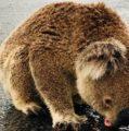 Captan a un koala lamiendo el asfalto mojado en una carretera de Australia tras las esperadas tormentas