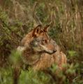 Un hombre vive 3 años con lo que creía era una perra, pero resulta ser un depredador salvaje