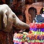 La elefanta Trompita celebra su cumpleaños 59 con un pastel gigante