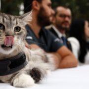 Implantan marcapasos a un gato en Colombia