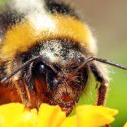 Los abejorros están al borde de la extinción