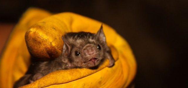 Intentan incendiar a medio millar de murciélagos en Perú por coronavirus