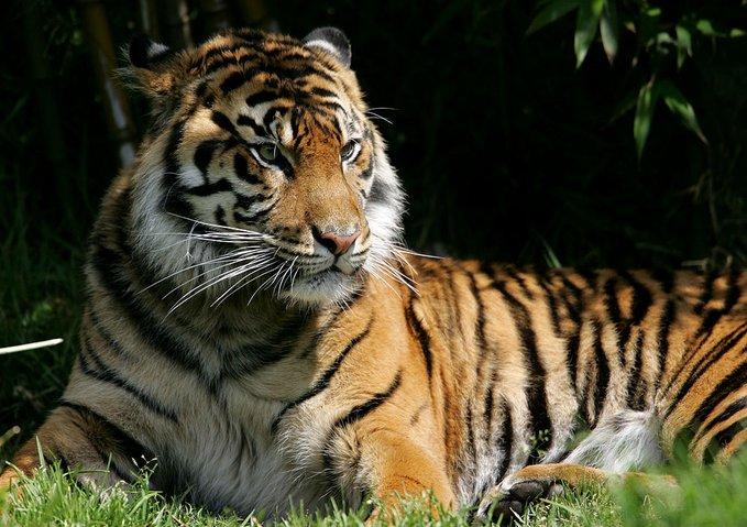 Una tigresa de un zoo de Nueva York contrae coronavirus