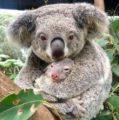 Nace el primer koala, después de los incendios en Australia