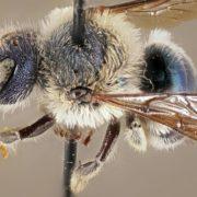 Increíbles abejas azules que se creían extintas reaparecen en Estados Unidos