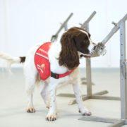 Prueban si perros pueden olfatear a portadores asintomáticos