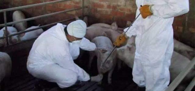 Descubren virus de gripe porcina en China que puede infectar a humanos