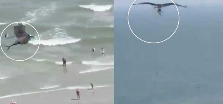 Águila pescadora captura a tiburón y escapa con él entre sus filosas garras
