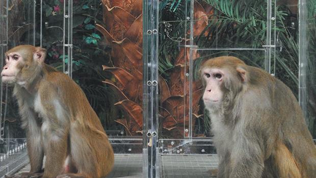 Monos infectados con el Coronavirus desarrollan inmunidad a corto plazo