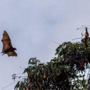 Conoce el increíble zorro volador, el murciélago más grande del mundo