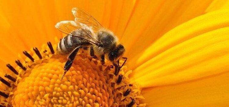 Estudio revela que veneno de abejas ayuda a atacar células de cáncer de mama