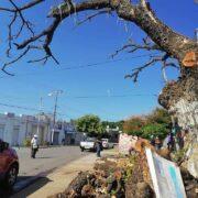 Emotiva despedida a popular árbol de Mérida