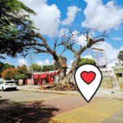 Reemplazarán con otro árbol el flamboyán que se cortó en la Miraflores