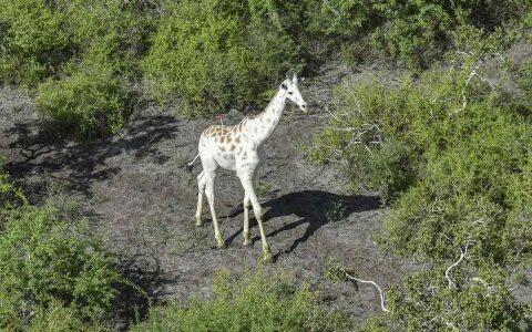 La última jirafa blanca del mundo sera vigilada por GPS